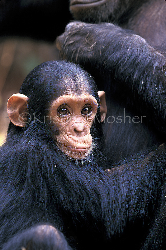 Infant Flirt peers out from Fifi's lap.Gombe Stream National Park, Tanzania.Female Eastern Chimpanzee, Pan troglodtyes schweinfurthii. Jane Goodall Institute/GSRC