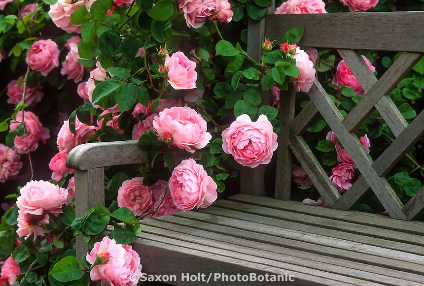 Pink flowering English Shrub Rose, 'Constance Spry' on garden bench