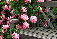 Pink flowering English Shrub Rose, 'Constance Spry' on garden bench