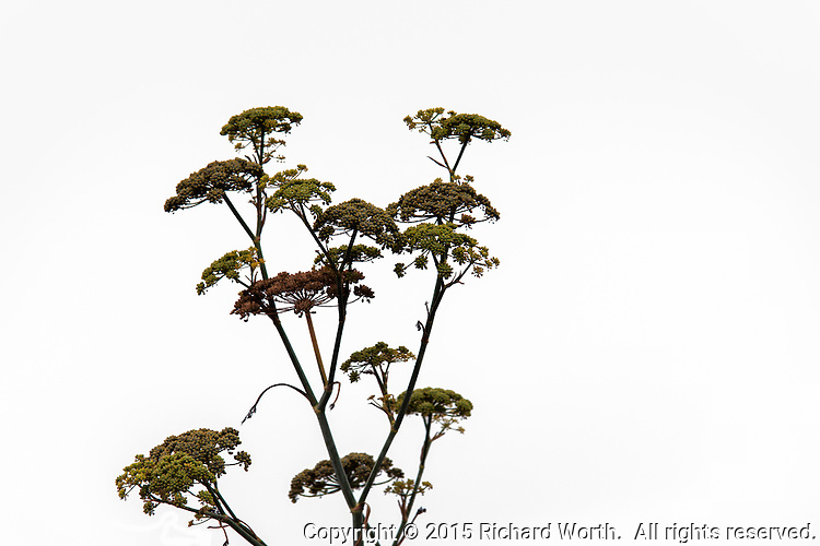 Multiple flowers of a Sweet fennel plant as a cut-out, the flower without background.