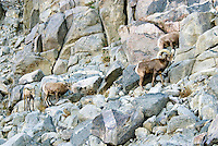 Desert Bighorn Sheep (Ovis canadensis nelsoni).  California.