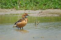 Fulvous Whistling-Duck, Estero Llano Grande State Park, Texas