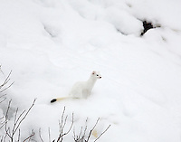 The Ermine (Mustela erminea), also known as short-tailed weasel, is a species of Mustelid native to North America, distinguished from the least weasel by its larger size and longer tail with a prominent black tip. The black tip is clever natural engineering. As predators zero in on it, the weasel is long gone.  Soda Butte Creek confluence with Lamar River, Yellowstone.