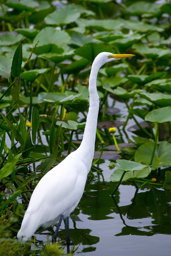 Great egret, Morton Lake, Lakeland, Florida