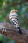 Hoopoe, Upupa epops, Keoladeo Ghana National Park, Rajasthan, India, formerly known as the Bharatpur Bird Sanctuary, UNESCO World Heritage Site.India....