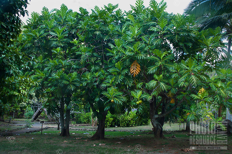 Breadfruit trees at Kamokila Hawaiian Village, Wailua River Valley, Kauai.