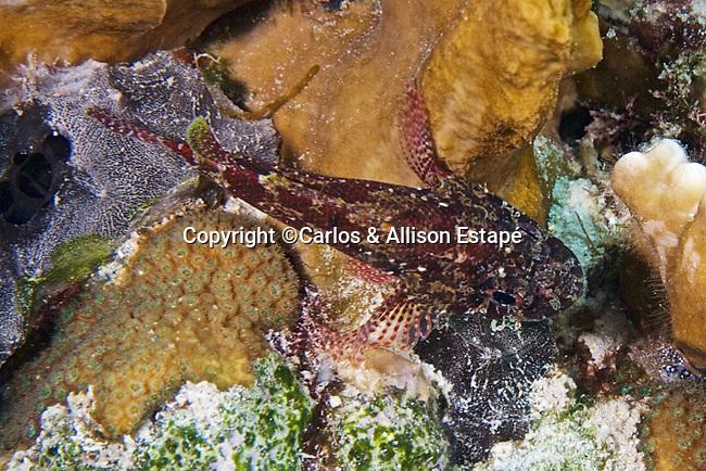 Scorpaenodes tredecimspinosus, Deepreef scorpionfish, Bonaire