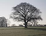 Outline of leafless oak tree standing in field alone, Sutton, Suffolk, England