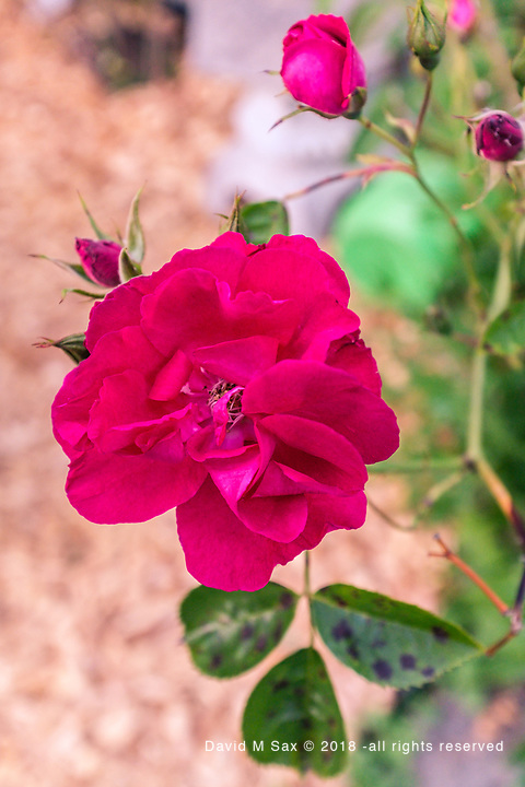 6.6.17 - Wild Rose...