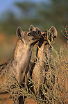 Spotted hyena, Crocuta crocuta, sniffing territorial scent marks, Kgalagadi Transfrontier Park, South Africa
