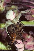 CS09-009a  Crab Spider with bee pry on milkweed - Misumena vatia
