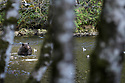 Adult female (sow) grizzly or brown bear (Ursus arctos horribilis) fishing in river. Great Bear Rainforest, British Columbia, Canada. September 2018