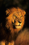 Lion male, Panthera leo, Kruger national park, South Africa