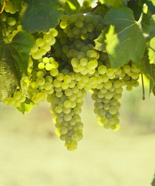 Chardonnay grapes in vineyard