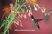 01162-053.14 Ruby-throated Hummingbird (Archilochus colubris) male on Penstemon (Penstemon barbatus) Shelby Co.  IL