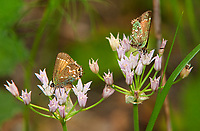 345260003 a wild pair of juniper hairstreak butterflies callophrys gryneus feed on wild onion allium canadense in southeast regional park in austin texas