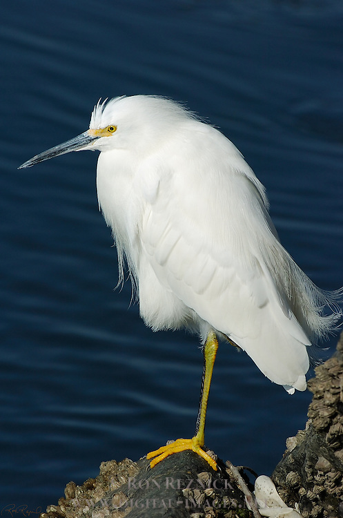 Snowy Egret Close Portrait Bolsa Chica Wildlife Refuge Southern California