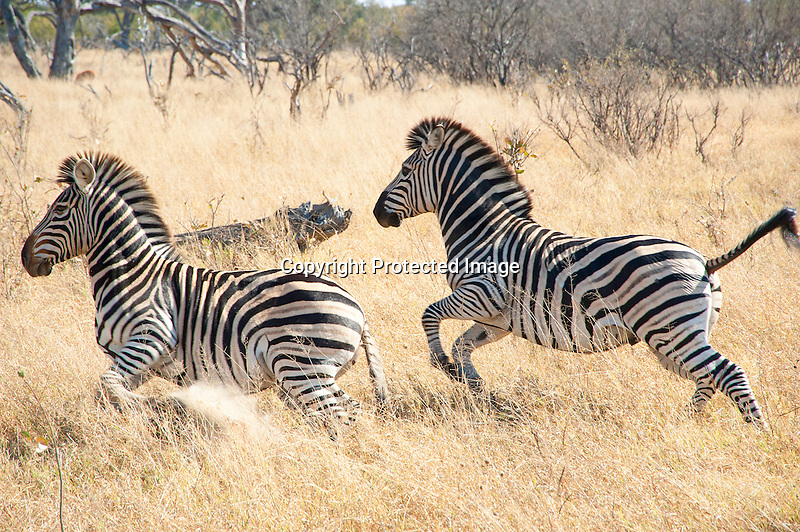 Zebra Pair Making a Fast Dash through the Grassland of Hwange National Park in Zimbabwe