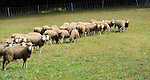 Flock of sheep in a pasture in New Hampshire USA
