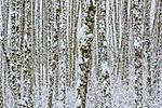 Skagit Valley, Washington, red alders (Alnus rubra)
