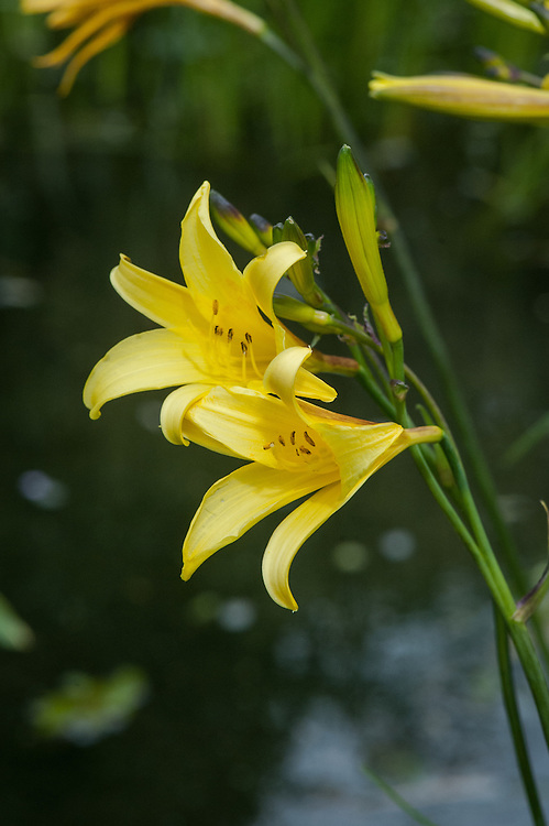 Hemerocallis 'Corky', late May. An old variety with slender yellow trumpets that have contrasting mahogany brown stripes on the back of the petals.
