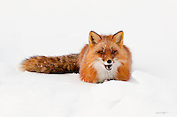 A red fox licks its chops in anticipation of it next meal on Alaska's north slope.
