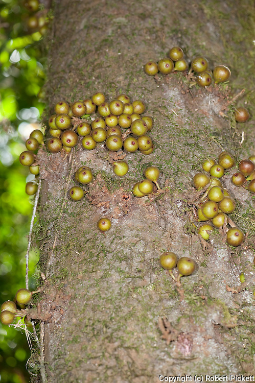 Fruits of Fig, Ficus sp growing directly from trunk, cauliflory, Ranomafana National Park, Madagascar, many species of lemur feed on this fruit