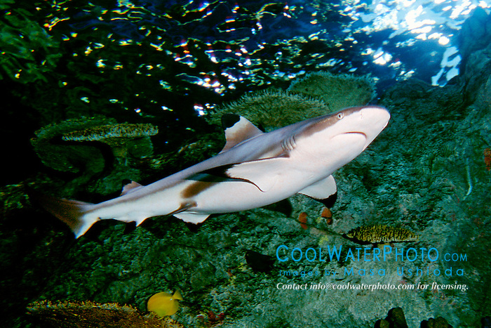 blacktip reef shark, female (c), .Charcharhinus melanopterus, .(Indo-Pacific).