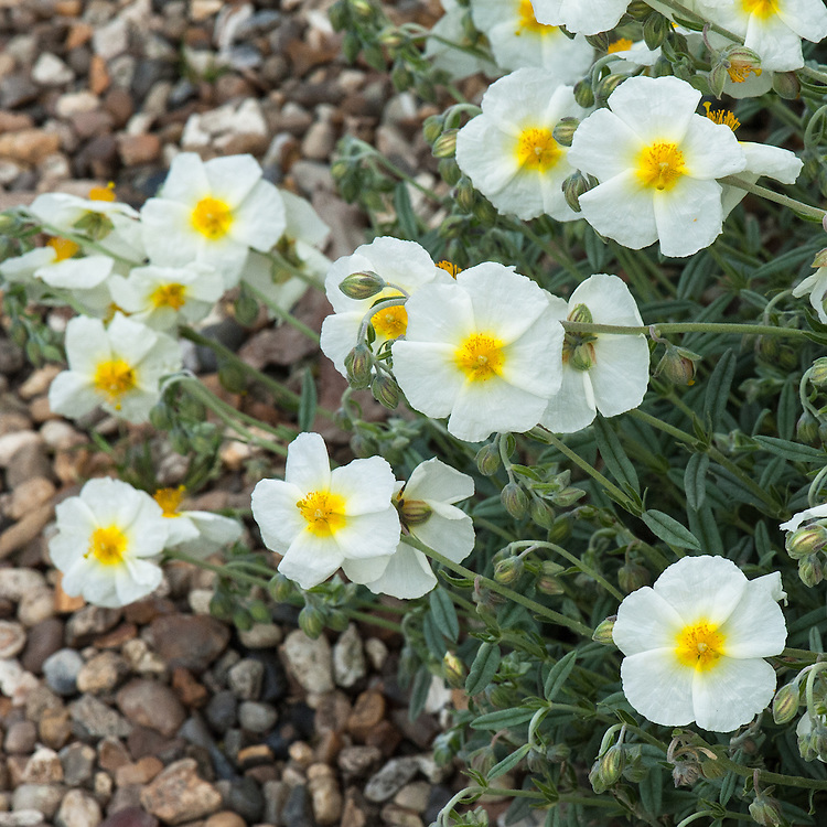 Helianthemum 'The Bride', late May. Single, yellow centered, pure white flowers in midsummer. Grey foliage. Height 30cm.