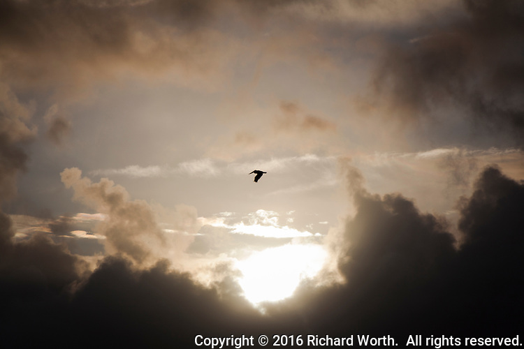 A Brown pelican flies by a break in the rain clouds  before sunset along the Martin Luther King Jr. Regional Shoreline near the Oakland airport.