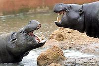 HARARE, Zimbabwe.- Al menos 88 hipopótamos han muerto en el Parque Nacional de Mana Pools (norte de Zimbabue) por un brote de la bacteria ántrax, aunque se teme también la muerte de elefantes, búfalos y antílopes, informaron hoy las autoridades zimbabuenses.