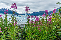 Summer landscape of Fireweed and icebergs in Inner Lake George with Chugach Mountains.  Southcentral, Alaska<br /> <br /> Photo by Jeff Schultz/SchultzPhoto.com  (C) 2018  ALL RIGHTS RESERVED<br /> Amazing Views-- Into the wild photo tour 2018