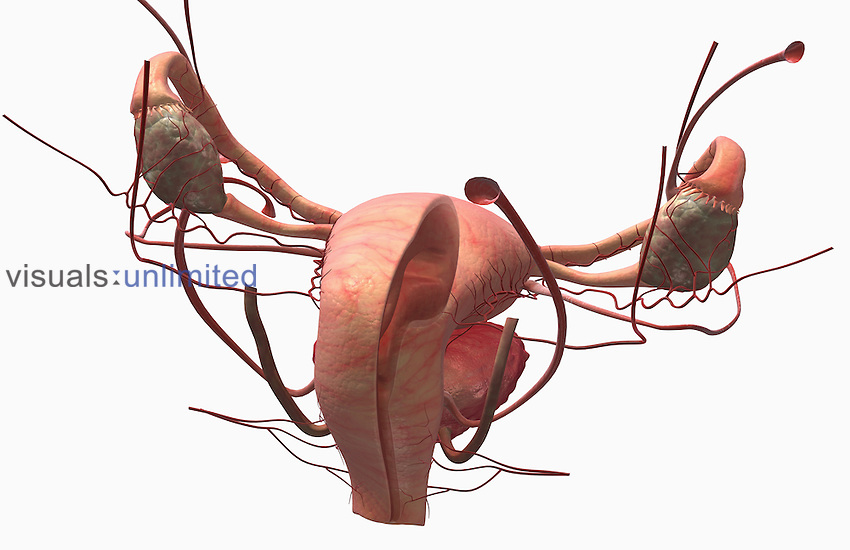 A superior posterolateral (right side) view of the sectional anatomy of the uterus. The bladder is also included. Royalty Free