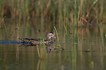 Female wood duck in spring