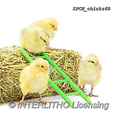 Xavier, EASTER, OSTERN, PASCUA, photos+++++,SPCHCHICKS60,#e#, EVERYDAY ,chicken