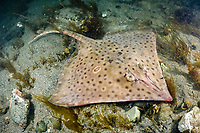 barndoor skate, Dipturus laevis, an endangered species, released as a by-catch from Georges Bank, Rhode Island, USA, North Atlantic Ocean
