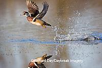 00715-07718 Wood Duck (Aix sponsa) male in flight in wetland, Marion Co.  IL