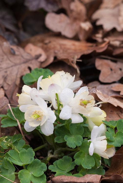 Columbine Aquilegia flabellata 'White Jewel' in spring blooms