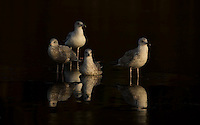 Herring gull, Larus argentatus, in dark water, Norway coast, Nr Trondheim.