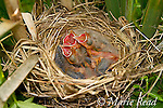 Red-winged Blackbird (Agelaius phoeniceus) nest containing 3 nestlings (about 6 days old, eyes just starting to open), begging. Nest is in a cattail marsh, Ithaca, New York, USA
