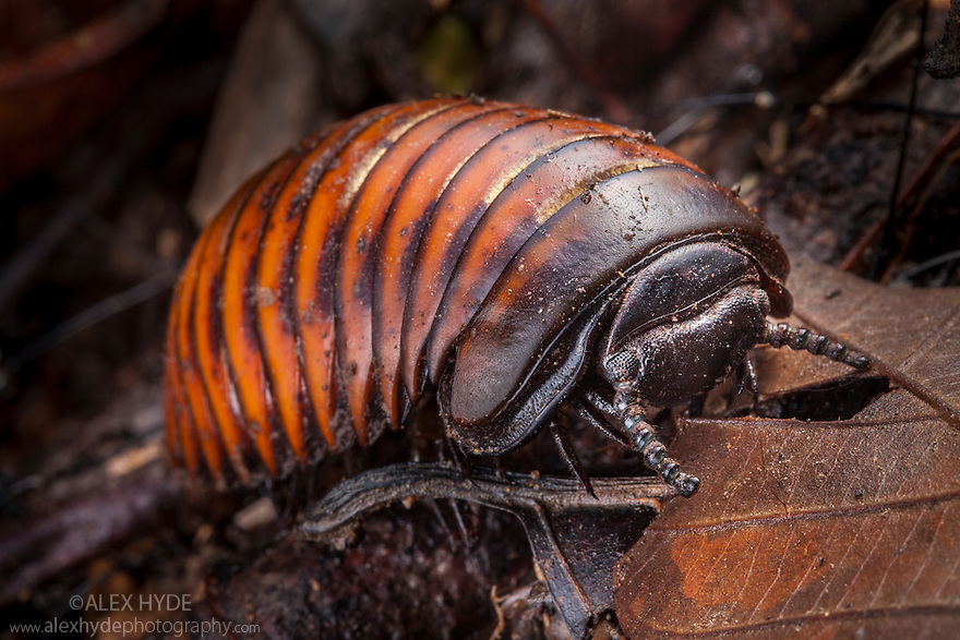 Pill Millipede {Glomeridae} in tropical rainforest. Danum Valley, Sabah, Borneo, Malaysia.