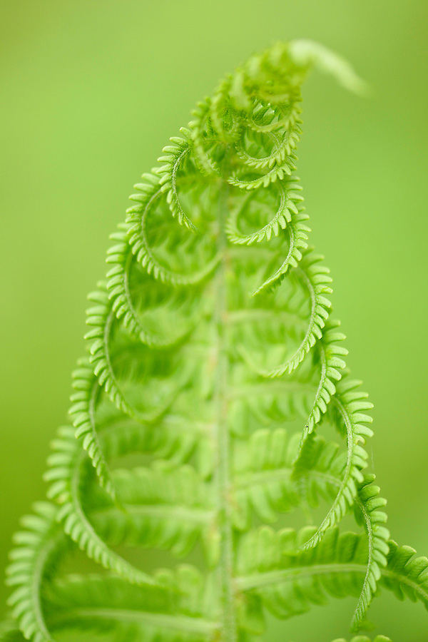 Ferns, Tangjiahe National Nature Reserve, NNR, Qingchuan County, Sichuan province, China
