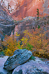 Bigtooth Maple, Echo Canyon, Zion National Park, Utah