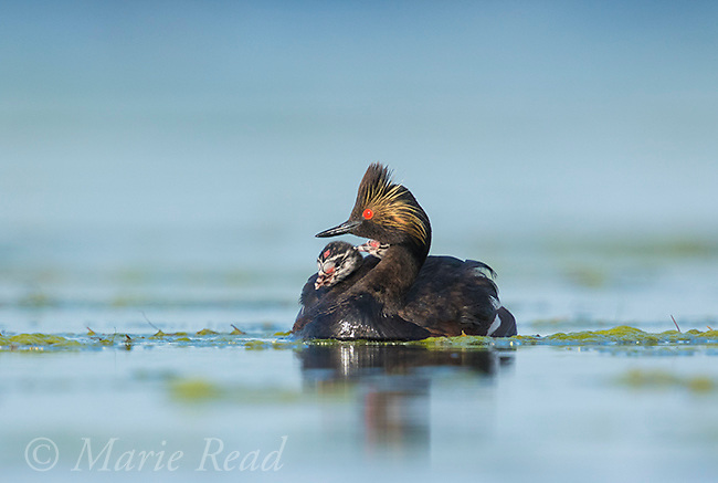Eared Grebes (Podiceps nigricollis), adult with two chicks riding on its back, Bowdoin National Wildlife Refuge, Montana, USA
