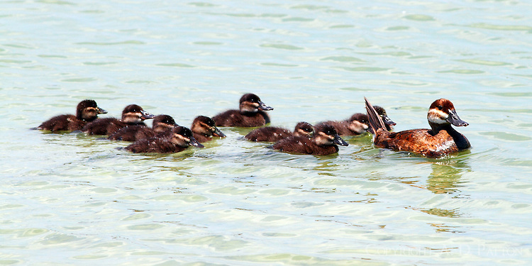 Female ruddy duck and ten ducklings. This mother duck actively defended her brood when other ruddy ducks approached.