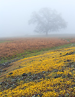 Table Mountain near Oroville, California is famous for wildflowers.  Here an oak tree is seen in the fog surrounded by yellow wildflowers.