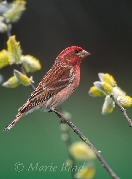 Purple Finch (Carpodacus purpurens), male perched amid pussy willow catkins, New York, USA<br /> Slide # B167-1414