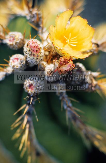 Europe/Espagne/Canaries/Lanzarote/Guatiza : Le jardin de cactus conçu par Cesar Manrique - Astrophytum ornatum