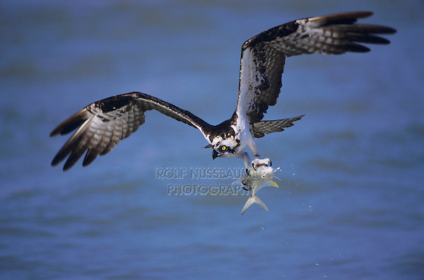 Osprey, Pandion haliaetus, adult in flight with fish prey, Sanibel Island, Florida, USA