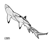 Bignose shark, Carcharhinus altimus, male right and female left, love bite, pen and ink illustration. The male bites the female during courtship in order to stimulate the female to copulate, pen and ink illustration.